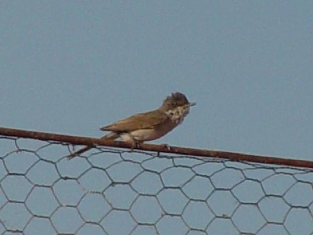 �B ノドジロムシクイ ♀ 成鳥  ドナウデルタ ルーマニア Delta Dunarii, Romania 2008/06/11 Photo by Kohyuh