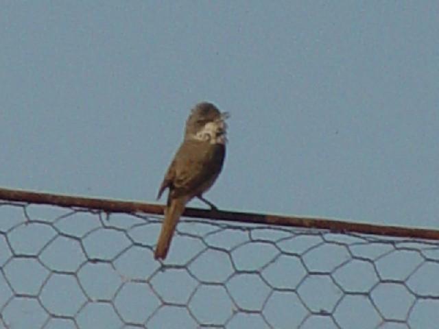 �C ノドジロムシクイ ♀ 成鳥  ドナウデルタ ルーマニア Delta Dunarii, Romania 2008/06/11 Photo by Kohyuh