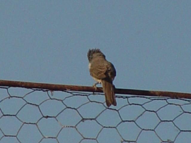 �D ノドジロムシクイ ♀ 成鳥  ドナウデルタ ルーマニア Delta Dunarii, Romania 2008/06/11 Photo by Kohyuh