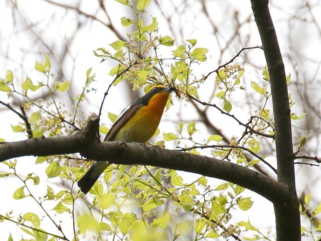 photo_20140416-7 キビタキ ♂ 成鳥 (4態-1) 大阪城 2014/04/16-17 Photo by Manda (写真提供: 萬田)