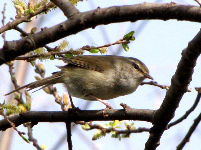 �A ウグイス 成鳥 枚方市 淀川 2010/03/14 Photo by Kohyuh