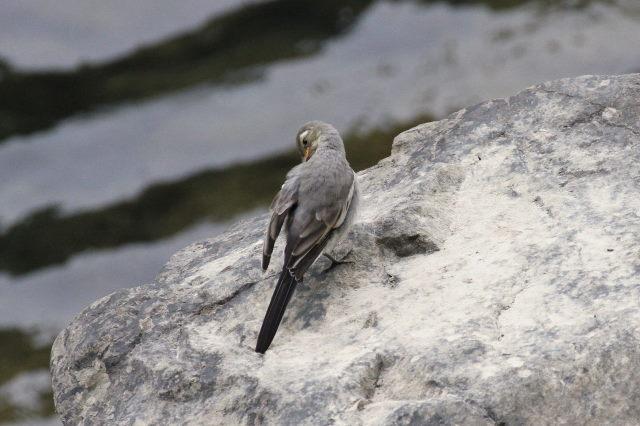 セキレイの幼鳥