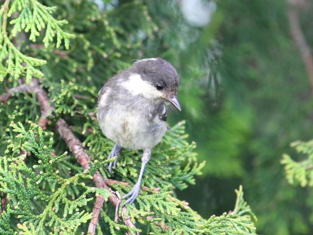 ヒガラ 幼鳥 (4態-2) 成就社 石鎚山の麓 四国 2014/07/25 Photo by Manda