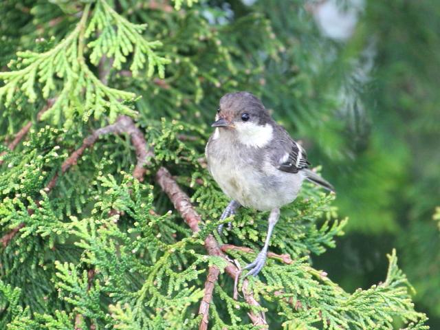 ヒガラ 幼鳥 (4態-3) 成就社 石鎚山の麓 四国 2014/07/25 Photo by Manda