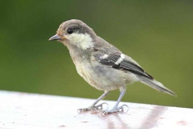 ヒガラ 幼鳥 (4態-4) 成就社 石鎚山の麓 四国 2014/07/25 Photo by Manda