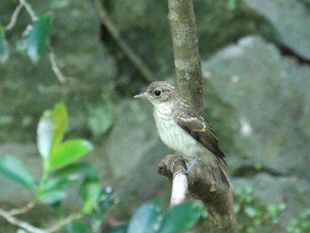 キビタキ 幼鳥 (3態-2) 箕面 大阪
