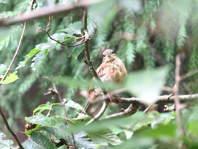 ホオジロの幼鳥(2態-1) ささやまの森 兵庫県 2014/07/22 Photo by Manda (写真提供: 萬田)