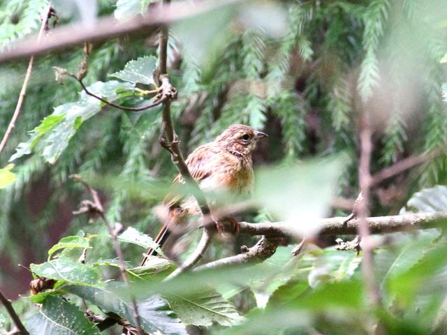 ホオジロの幼鳥(2態-2) ささやまの森 兵庫県 2014/07/22 Photo by Manda (写真提供: 萬田)