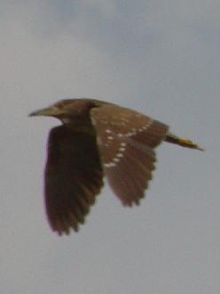 �A ホシゴイ  若鳥の別称 八幡市 大谷川 二ノ木橋 2003/08/16 Photo by Kohyuh
