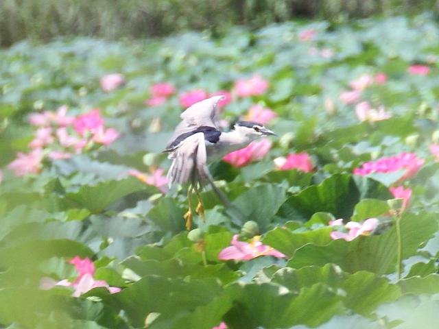ゴイサギ 成鳥 飛び姿 (3態-2) 水生植物公園みずの森 草津市 2014/08/07 Photo by Manda