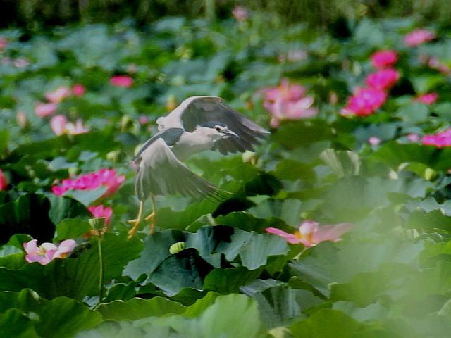 ゴイサギ 成鳥 飛び姿 (3態-3) 水生植物公園みずの森 草津市 2014/08/07 Photo by Manda