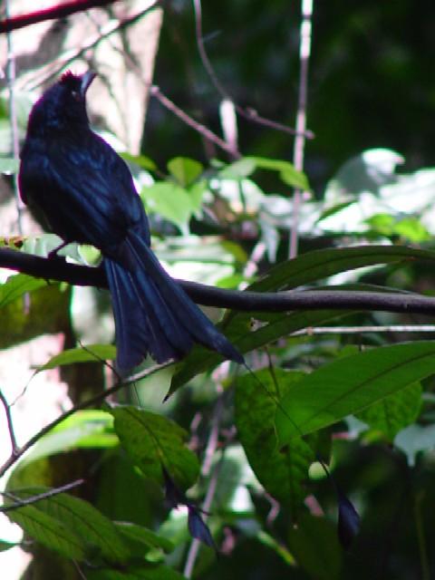�@ カザリオウチュウ ブキ・ティマ自然保護区 シンガポール Bukit Timah Nature Reserve, Singapore 2007/01/19 Photo by Kohyuh
