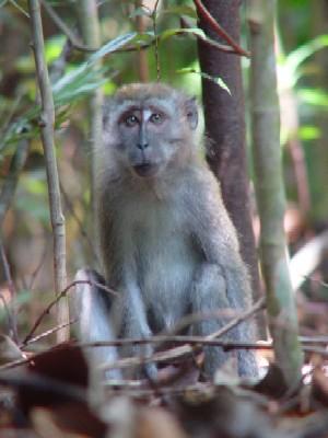 ブキ・ティマ自然保護区のサル