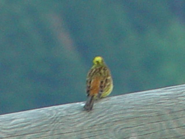 キアオジ ♂ 成鳥 (2態-2) モンセギュール フランス Montsegur, France 2005/05/20 Photo by Kohyuh