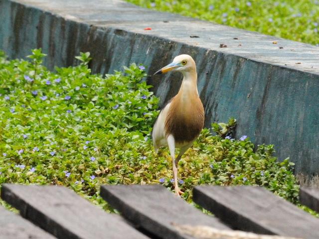ジャワアカガシラサギ (9態-2) ルンピニ公園 バンコク タイ Lumphini Park, Bangkok, Thailand 2014/07/18 Photo by Kohyuh