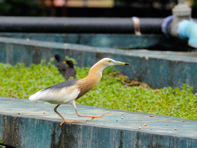 ジャワアカガシラサギ (9態-3) ルンピニ公園 バンコク タイ Lumphini Park, Bangkok, Thailand 2014/07/18 Photo by Kohyuh