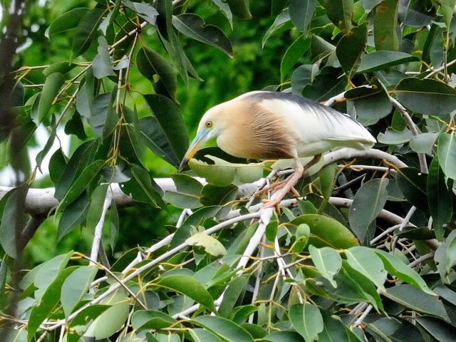 ジャワアカガシラサギ (9態-5) ルンピニ公園 バンコク タイ Lumphini Park, Bangkok, Thailand 2014/07/18 Photo by Kohyuh