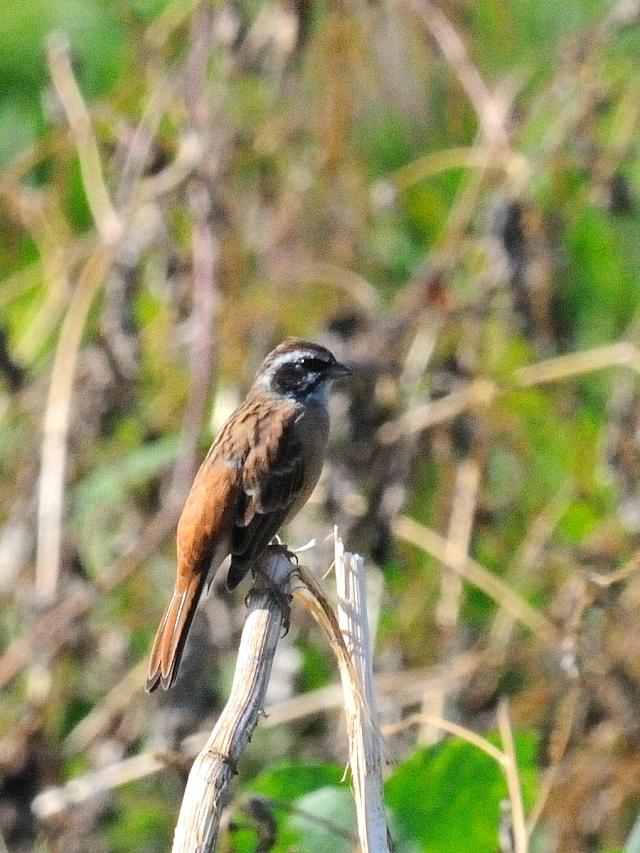ホオジロ 成鳥 2014/09/29 Photo by Kohyuh