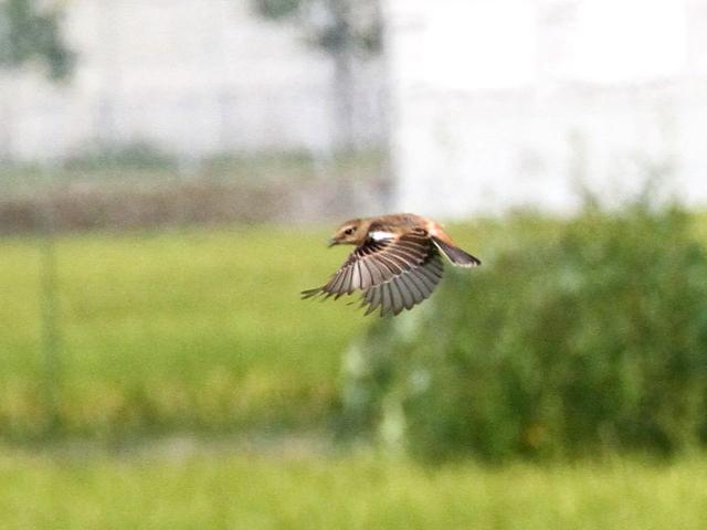 ノビタキ ♀ 成鳥 (3態-1) 八幡市 大谷川 2014/09/30  Photo by Manda