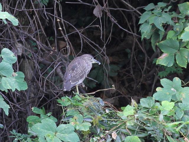 ホシゴイ (若鳥の別称) さくら公園 八幡市 2014/10/06 Photo by Manda
