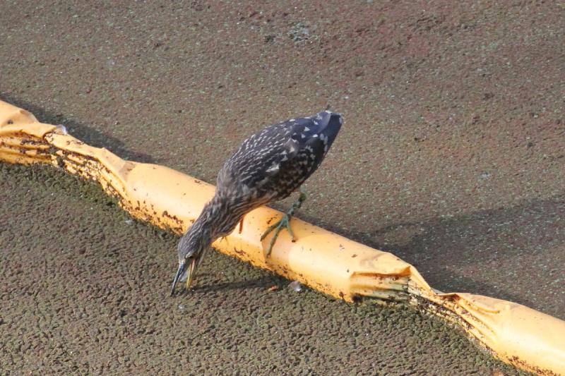 ササゴイ 若鳥 (2態-1) 大阪城 大阪市 2014/10/23 Photo by Manda
